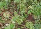 西瓜早衰原因及防治措施