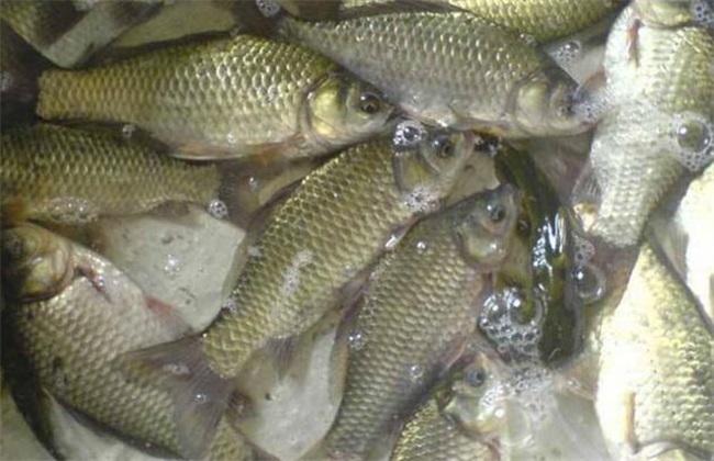 鲫鱼的养殖模式