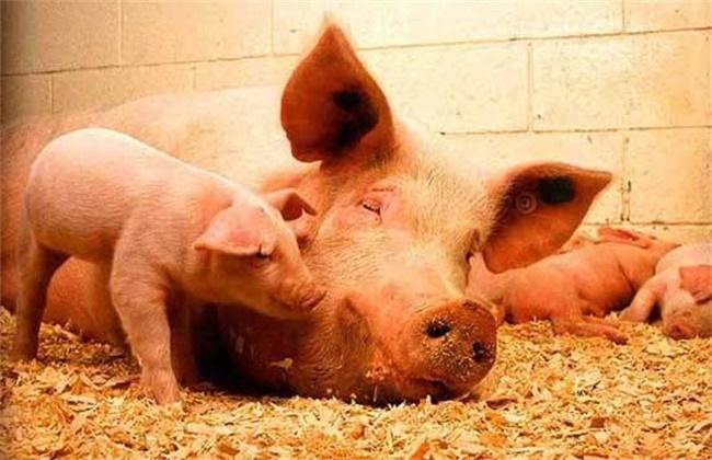 母猪空怀期饲养要点