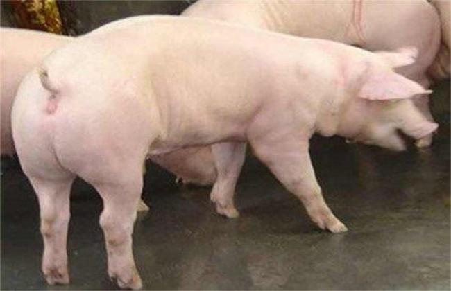 后备母猪饲养管理要点