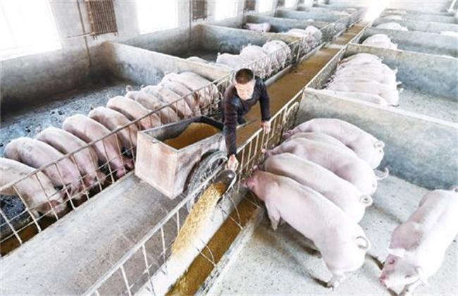 生猪快速育肥需要什么条件