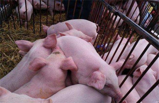 母猪不发情的原因
