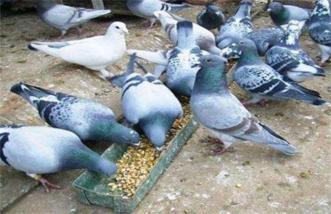 养10对鸽子一年 成本 利润