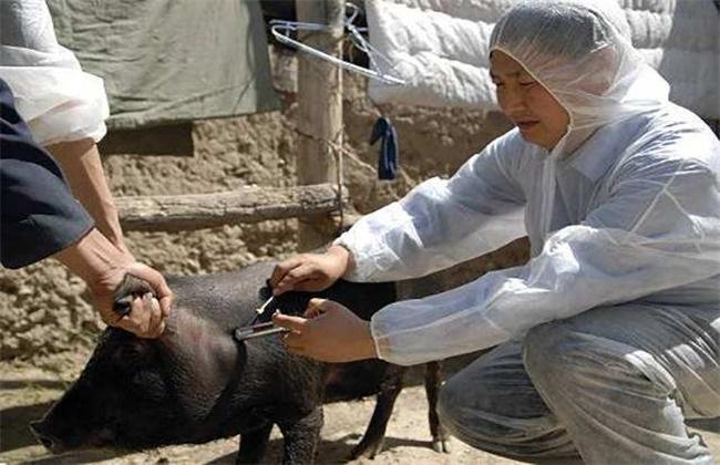 猪群疫苗接种注意事项