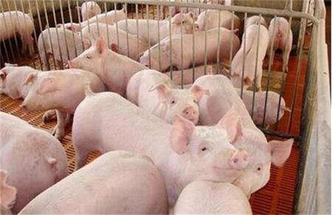 养猪合理分群和并群方法