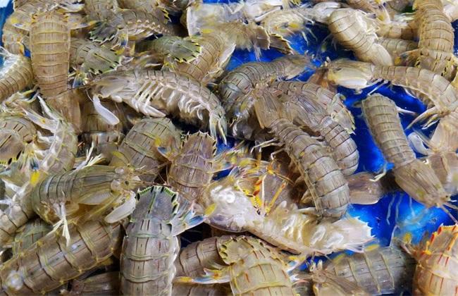皮皮虾养殖的注意事项