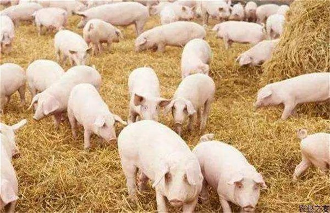 春季如何提高猪群的抵抗力