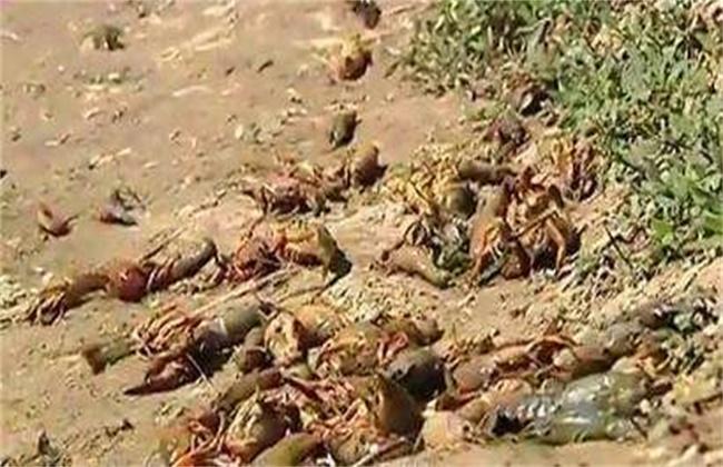 小龙虾大量死亡常见的原因