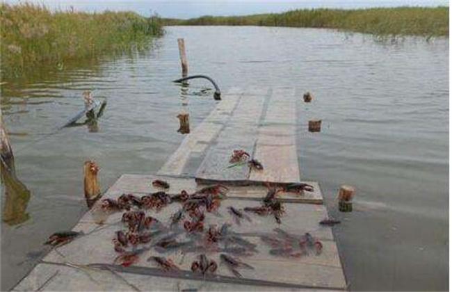 养小龙虾有什么风险