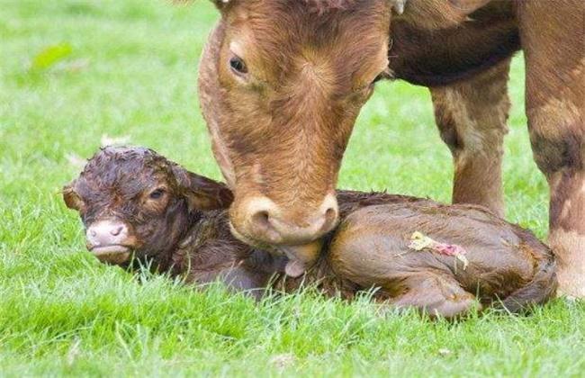 新生犊牛死亡原因及预防措施