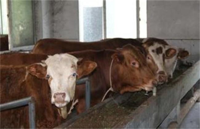 牛食道阻塞