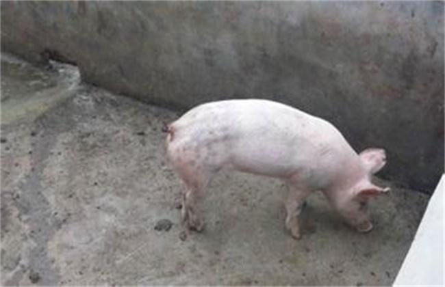 猪异食癖原因及防治方法