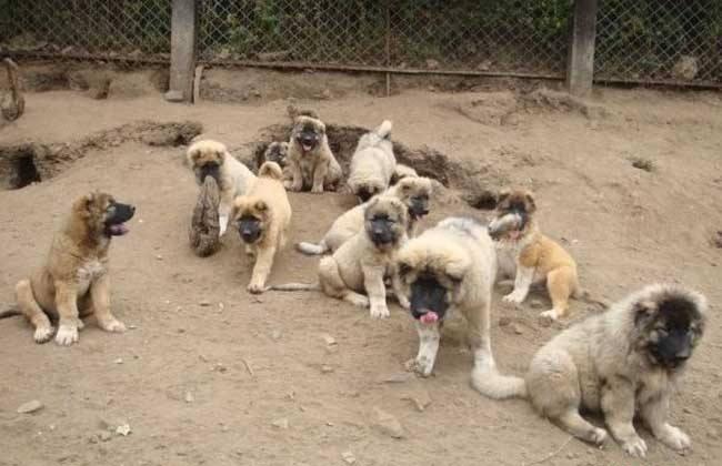 养10只肉狗 成本 利润 前景