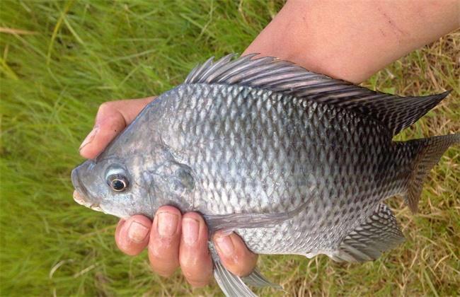 罗非鱼价格多少钱一斤