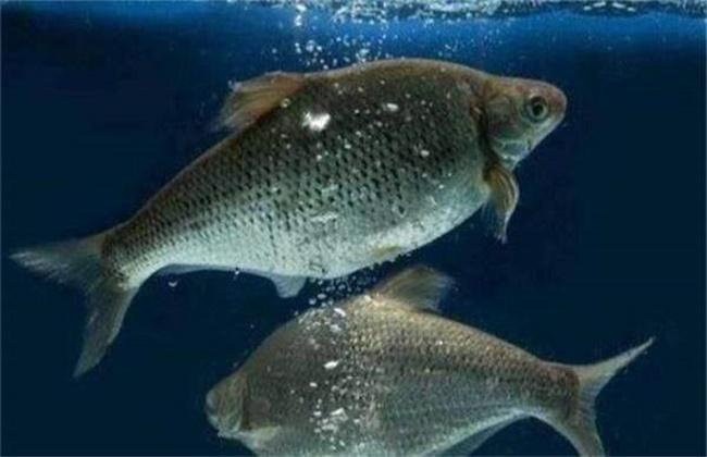 罗非鱼养殖要注意些什么