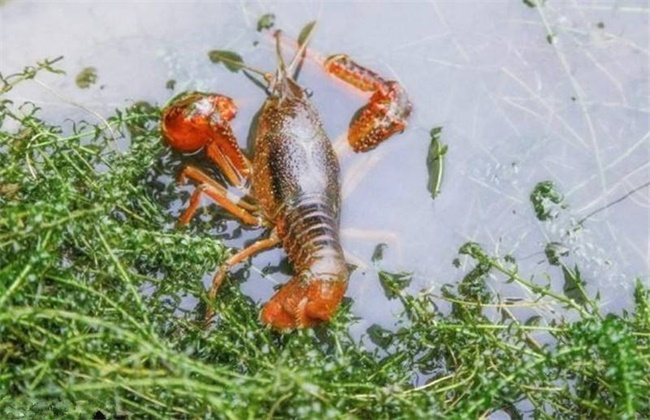 小龙虾脱壳期管理要点