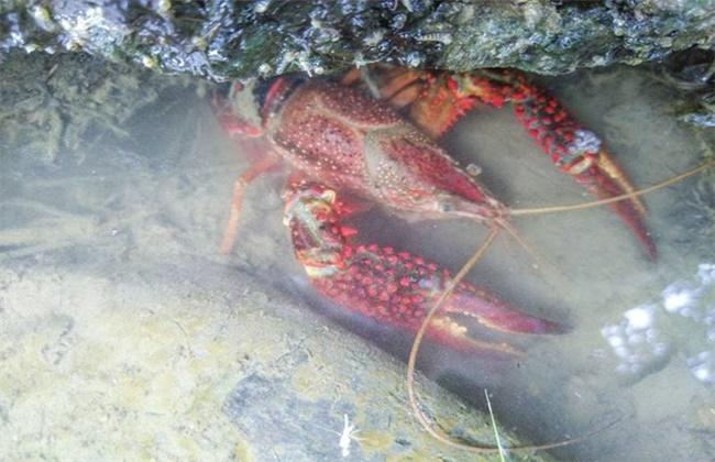小龙虾烂壳病症状及防治方法