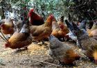 柴鸡养殖利润分析