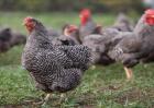 芦花鸡养殖需要注意哪几点
