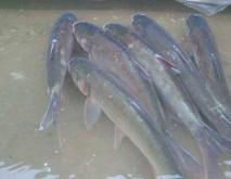 鲢鱼的常见种类及图片介绍