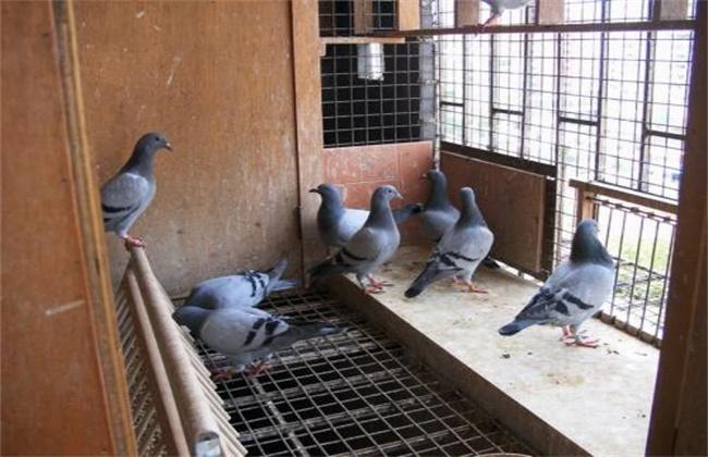 赛鸽归巢率低原因