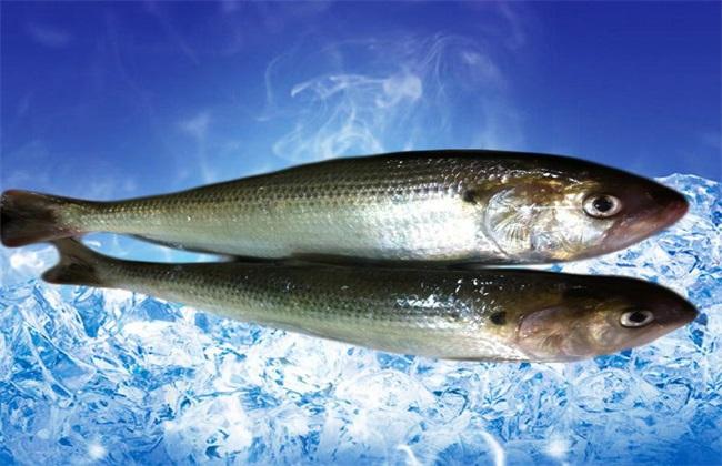 鲥鱼养殖的注意事项