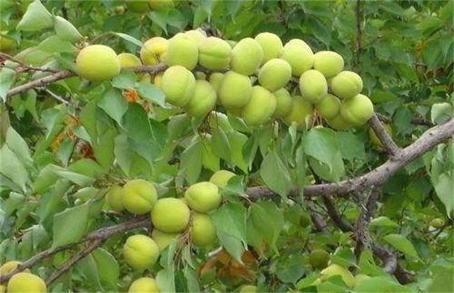 杏树落花落果原因及解决方法