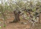 梨树只开花不结果是什么原因