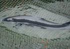青鱼养殖的注意事项