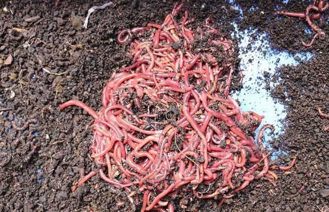 养殖一亩蚯蚓 利润 成本