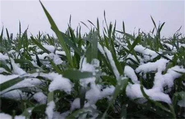 小麦倒春寒预防方法