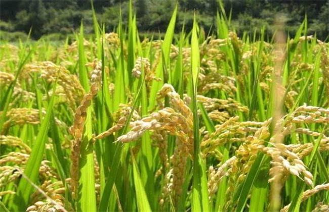 水稻促早熟方法