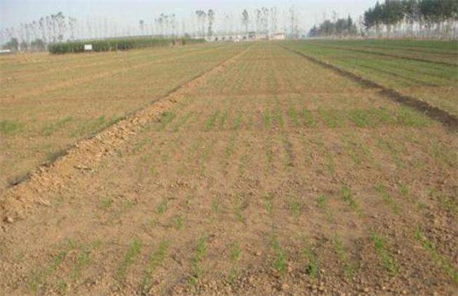 小麦出苗不齐原因及补救措施