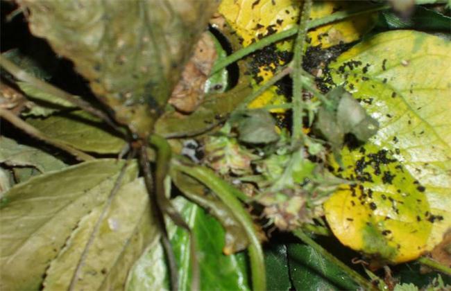 南瓜常见虫害防治方法