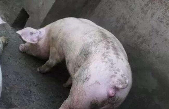 母猪配种管理技术