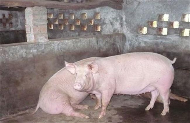 母猪配种 管理技术 注意事项