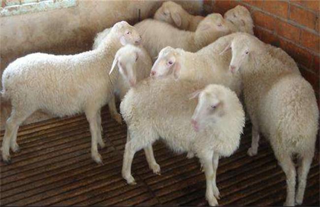 小尾寒羊饲养管理