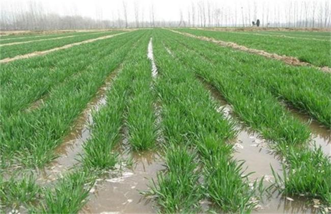 小麦浇水时间和注意事项