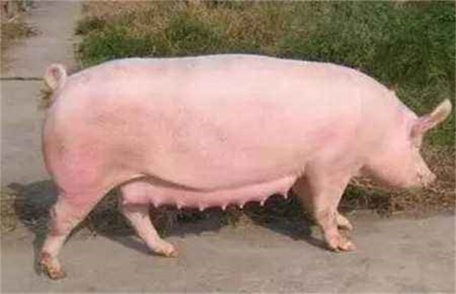 母猪的产后护理方法