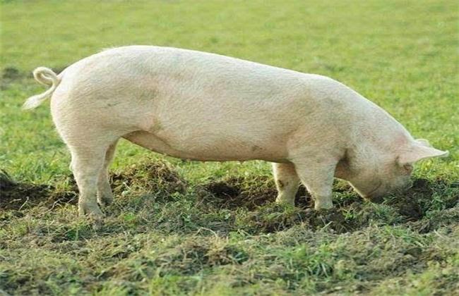 夏天母猪不发情原因及解决方法