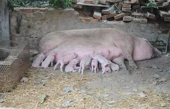 母猪 饲养管理 母猪管理