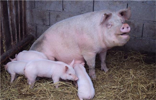 母猪养殖 饲养管理 疾病预防