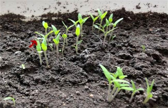 韭菜育苗技术