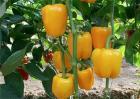 甜椒种植怎么增产