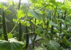黄瓜苦味重原因及预防方法