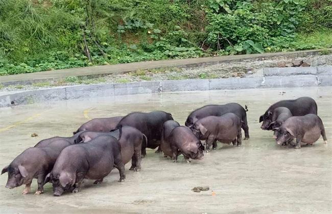 养10头香猪 成本 利润