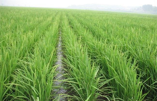 水稻田间管理技术