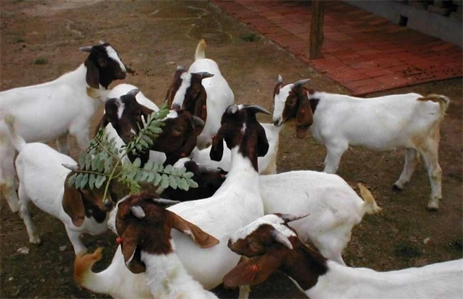 养100只波尔山羊需要投资多少钱