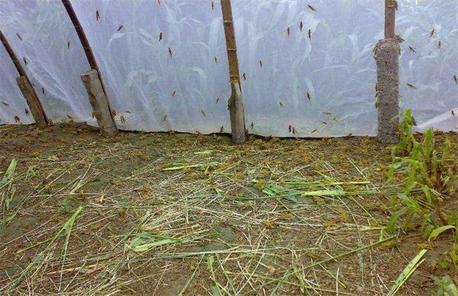 养一亩蚂蚱 利润 成本 优势