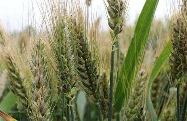 种一亩小麦 利润 成本